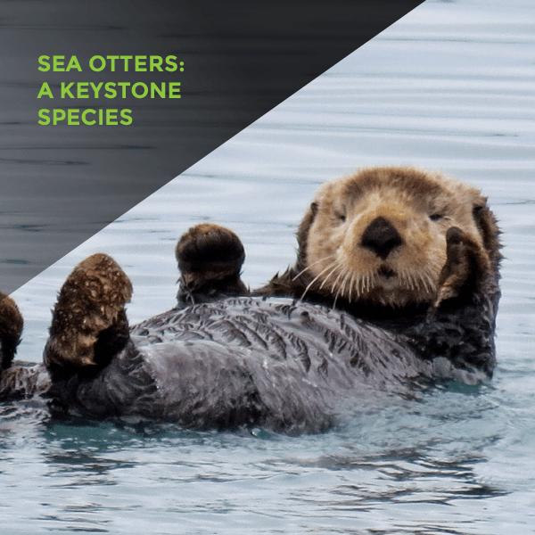 Sea Otters: A Keystone Species