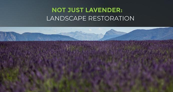 Lavender Landscape Restoration
