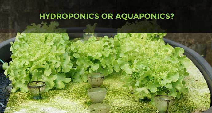 Hydroponics or Aquaponics
