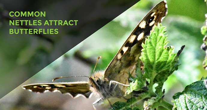 Nettles Attract Butterflies