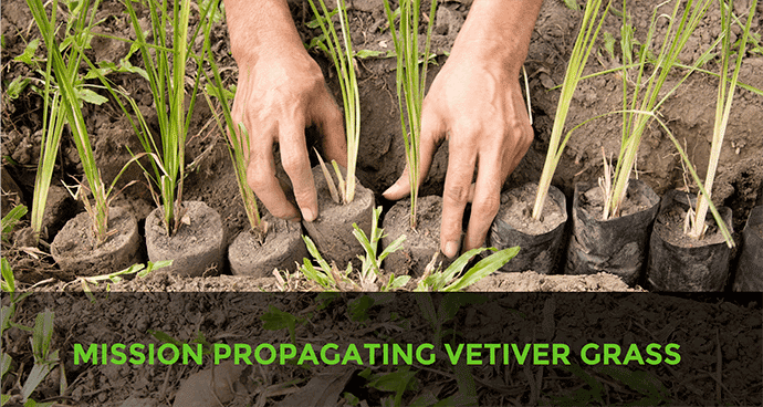Mission Propagating Vetiver Grass