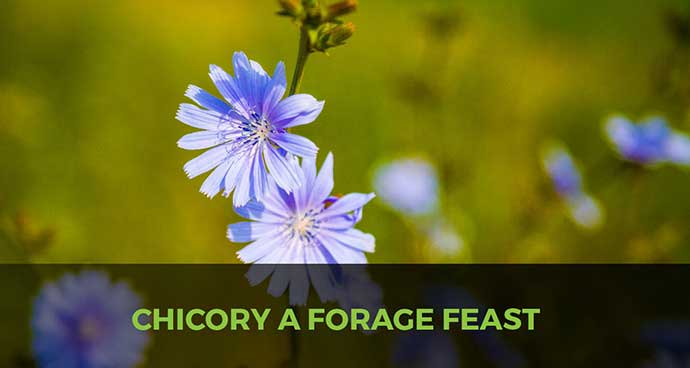 Chicory A Forage Feast