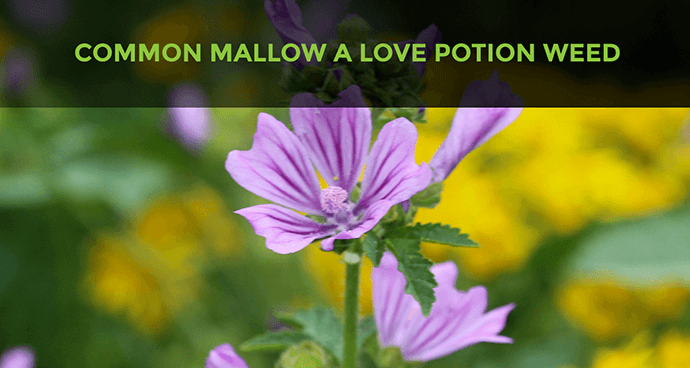 Common Mallow A Love Potion Weed